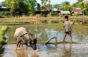Child_and_ox_ploughing,_Laos_(1)